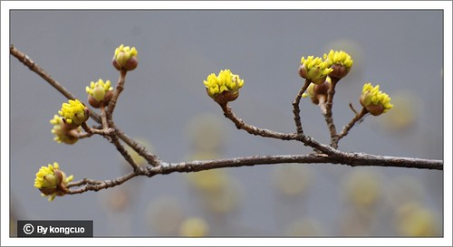 【图】山茱萸的花芽
