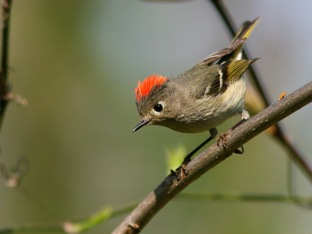 Ruby-crowned Kinglet 2-20100414