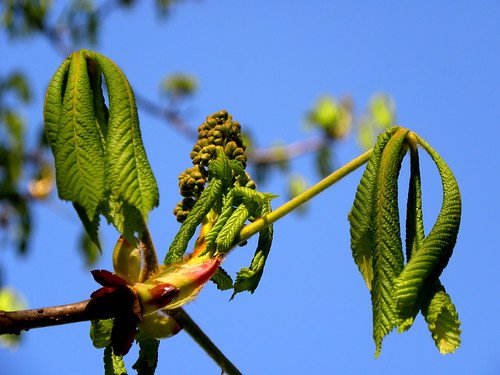 Young horse chestnut tree leaves