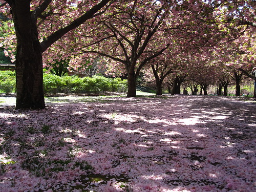 Petal covered Cherry Walk