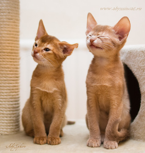 Strange couple (funny abyssinians) by Abysphere