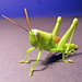 Short-horned Grasshoppers - Photo (c) Bill & Mark Bell, some rights reserved (CC BY-NC-SA)