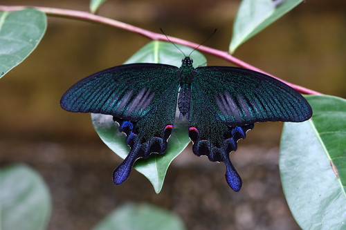 the sublime swallowtail butterfly neatorama