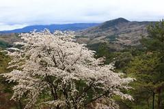 Cherry blossoms / Sakura / 桜