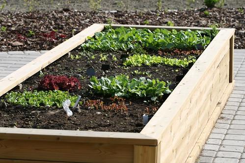 Radishes & lettuce / Redised ja lehtsalatid