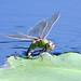 Dragonfly on a Leaf by pheαnix