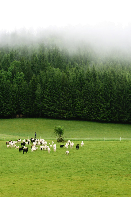The farmer and his sheeps in Austria.