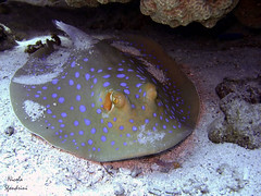 animal, stingray, fish, marine biology, skate, underwater, cartilaginous fish, reef,