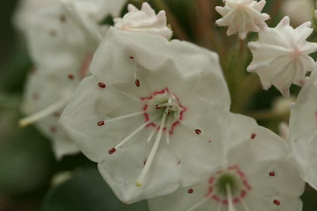 Kalmia latifolia (mountain laurel). Photo by Uli Lorimer.