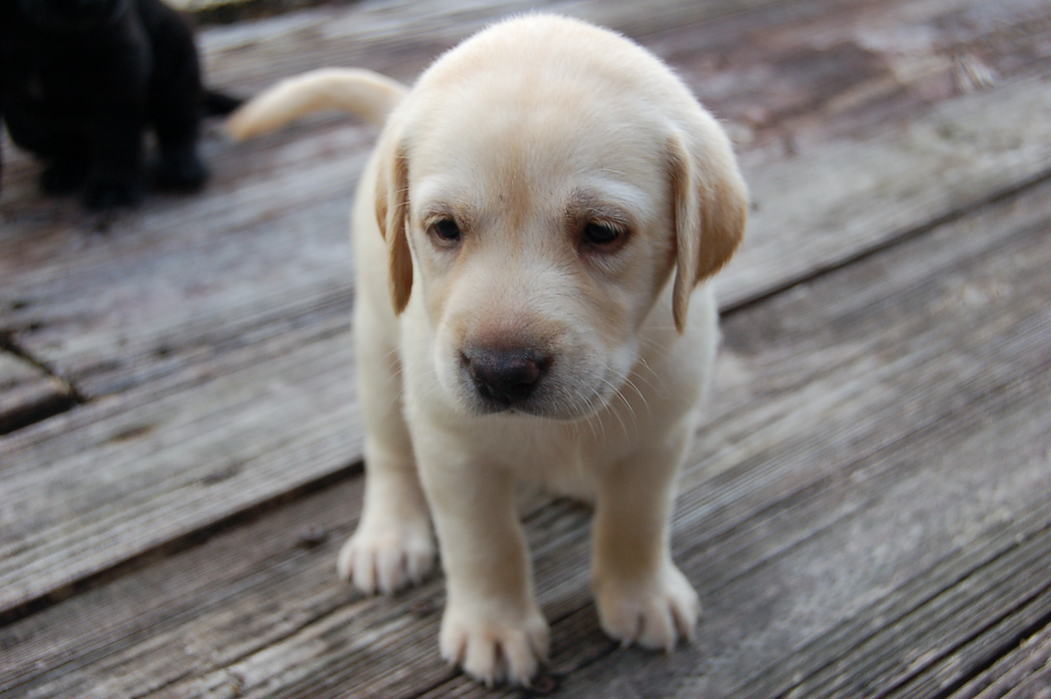 Buy Yellow Lab Puppies Dogs For Sale In Nebraska USA