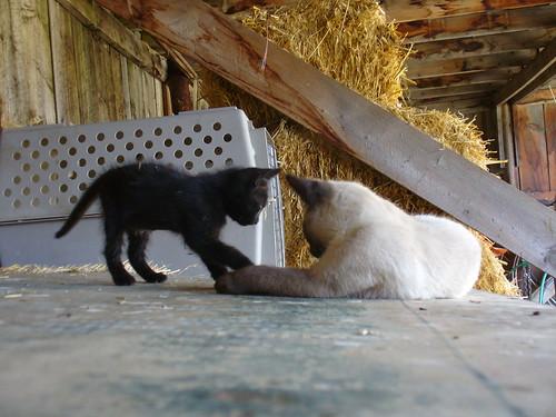 cats white black cute barn kittens august 2010 82010