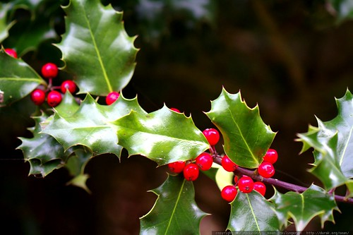 holly berries on a holly bush    MG 0123