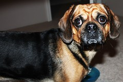hound(0.0), puppy(0.0), dog breed(1.0), animal(1.0), dog(1.0), puggle(1.0), pet(1.0), mammal(1.0), close-up(1.0),