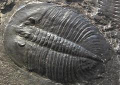 animal(0.0), marine biology(0.0), trilobite(1.0), fauna(1.0), fossil(1.0),