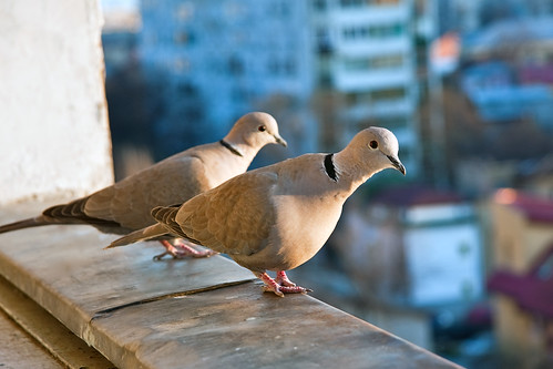Eurasian Collared Doves preparing to take flight