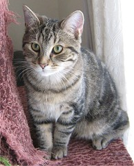 animal, tabby cat, small to medium-sized cats, pet, mammal, european shorthair, pixie-bob, fauna, american shorthair, cat, whiskers, manx, domestic short-haired cat,