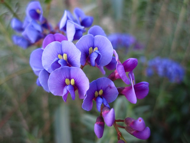 A detail of Hardenbergia violacea. This vine-lilac is a profuse bloomer and adds great color to the Warm Temperate Pavilion in the Steinhardt Conservatory. Photo by Rebecca Bullene