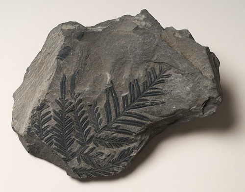 Fossilised frond from a seed fern, Alethopteris, GL1339