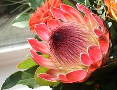 dahlia(0.0), flower(1.0), red(1.0), plant(1.0), flora(1.0), floristry(1.0), protea(1.0), proteales(1.0), petal(1.0),