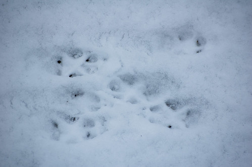 Fox footprints