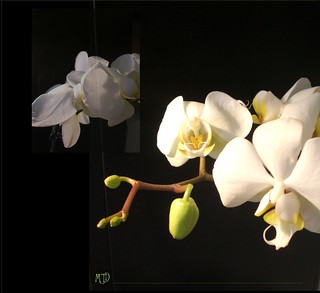 collage phalaenopsis in black
