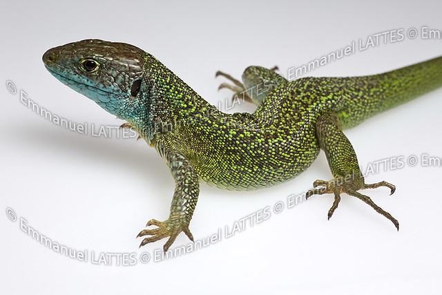 l233zard vert m226le lacerta viridis bilineata photographi233