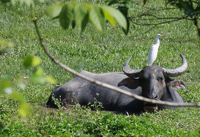 Water buffalo with a bird