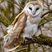 Barn Owl Tyto alba perched in a tree by Nigel Blake, 6 MILLION views Thankyou!