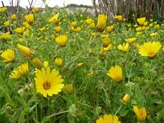annual plant, calendula, prairie, flower, field, yellow, herb, wildflower, flora,