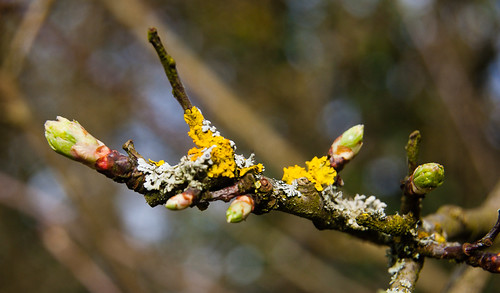 Hawthorn buds and lichens