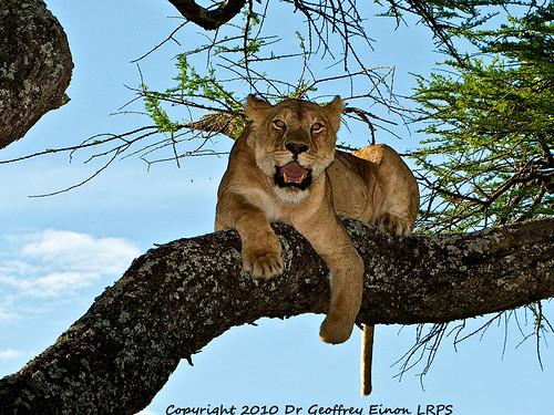 tree tanzania serengeti lioness mutilation poaching ndutu naturewatcher