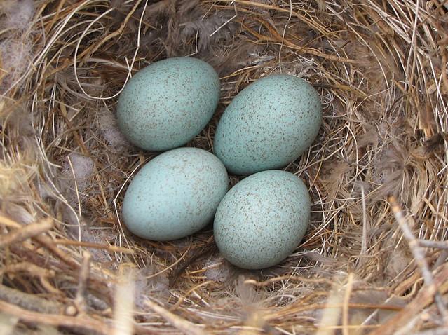 Curve Bill Thrasher Eggs Flickr Photo Sharing