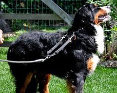 dog breed(1.0), animal(1.0), dog(1.0), hovawart(1.0), pet(1.0), mammal(1.0), bernese mountain dog(1.0),