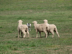 ACT National Sheepdog Trials 2010