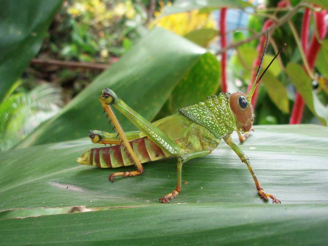 Giant Grasshopper nymph (Tropidacris dux) - Forma inmadura ...