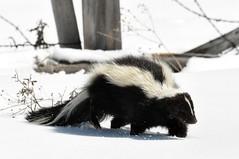 [フリー画像素材] 動物 (哺乳類), 哺乳類 (その他), スカンク ID:201212051000