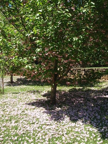 pink flowering tree (2)
