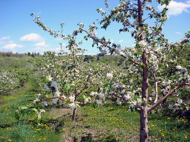 photoZestar Apple Tree