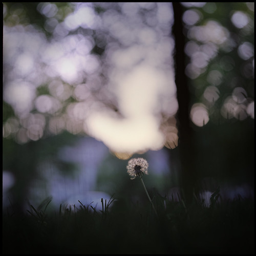 120 6x6 film leaves mediumformat out square focus fuji bokeh scan dandelion bronica solo scanned 100 belgrade beograd reala sqa bronicasqa 10535 aroundsunset 105mmf35 zenzanons zenzanons10535