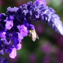 blossom(0.0), nectar(0.0), lavender(0.0), pollinator(1.0), honey bee(1.0), pollen(1.0), flower(1.0), purple(1.0), violet(1.0), english lavender(1.0), plant(1.0), lilac(1.0), invertebrate(1.0), lavender(1.0), macro photography(1.0), membrane-winged insect(1.0), herb(1.0), wildflower(1.0), flora(1.0), close-up(1.0), bee(1.0), bumblebee(1.0), petal(1.0),