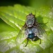 Hairy Fly by Shane_Henderson