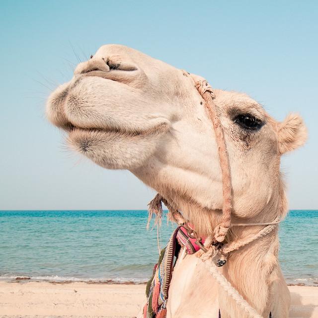 Beach Camel