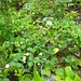 Wild Strawberry Patch