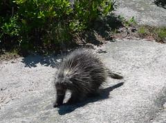 peccary(0.0), erinaceidae(0.0), echidna(1.0), animal(1.0), porcupine(1.0), mammal(1.0), fauna(1.0), wildlife(1.0),