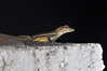 "<a href=""http://www.flickr.com/photos/theactionitems/4666639485/"">Photo of Anolis gingivinus by Marc AuMarc</a>"