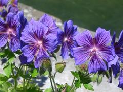 annual plant, geranium cinereum, geranium, flower, purple, plant, macro photography, wildflower, flora, petal,