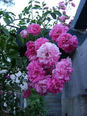 shrub(0.0), plant(0.0), garden roses(1.0), rosa 㗠centifolia(1.0), floribunda(1.0), flower(1.0), peony(1.0), pink(1.0), petal(1.0),
