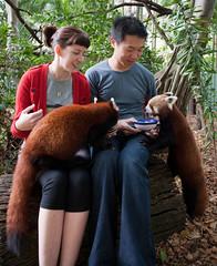 Red Panda feeding