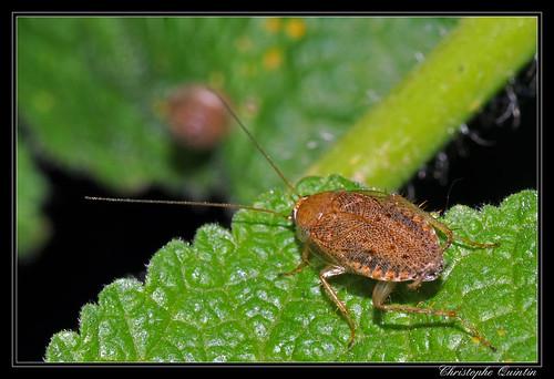 Ectobius pallidus (Blatte pâle)