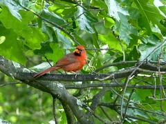 animal, branch, tree, fauna, cardinal, beak, bird, wildlife,